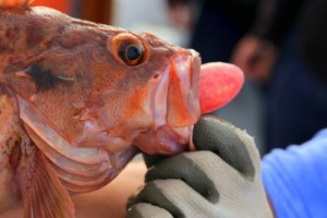 This brown rockfish is also suffering from barotrauma. The expansion of gasses in the swim bladder have displaced the stomach out through the fish's mouth.