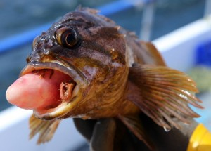 Gopher rockfish suffering from barotrauma