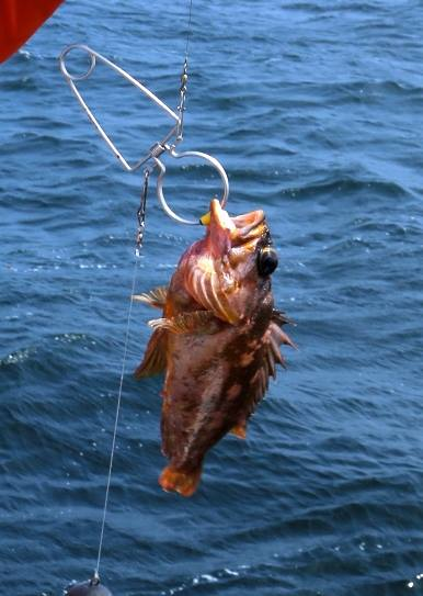 A gopher rockfish being descended on a RokLees